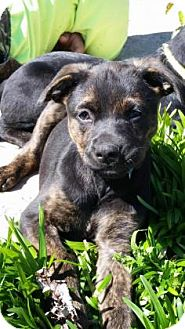 Australian Cattle Dog Mix Puppy for adoption in Burlington, North Carolina - Scout