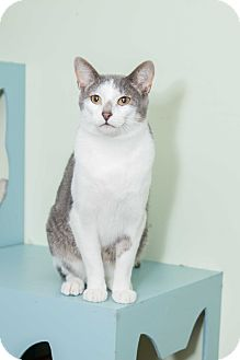 Domestic Shorthair Cat for adoption in Chicago, Illinois - Harley