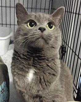 Russian Blue Cat for adoption in Fredericksburg, Virginia - Lightning