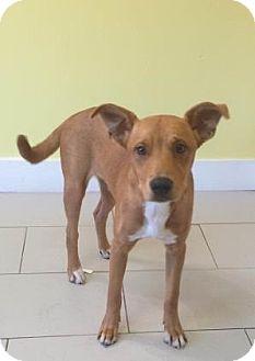 Labrador Retriever Mix Dog for adoption in Philadelphia, Pennsylvania - Rio