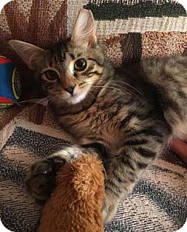 Domestic Shorthair Kitten for adoption in Merrifield, Virginia - Twiggy