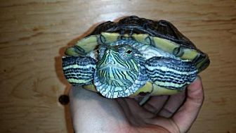 Turtle - Other for adoption in Pefferlaw, Ontario - Nikki