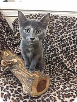 Domestic Shorthair Kitten for adoption in Marshall, Texas - Smokey Sue
