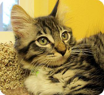 American Shorthair Kitten for adoption in Eastsound, Washington - Sammy