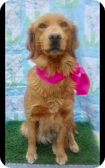 Golden Retriever Dog for adoption in pasadena, California - CAMILA