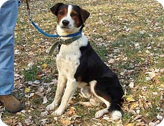Border Collie/Beagle Mix Dog for adoption in Windham, New Hampshire - Champ