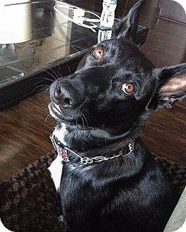 German Shepherd Dog/Cattle Dog Mix Dog for adoption in Charlotte, North Carolina - Cambi