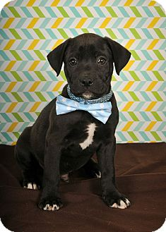 Boxer Mix Puppy for adoption in Colmar, Pennsylvania - Jaggar