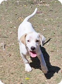 Beagle Mix Puppy for adoption in Pipe Creed, Texas - Porter
