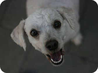 Poodle (Miniature)/Terrier (Unknown Type, Small) Mix Dog for adoption in Canoga Park, California - Emma-Terripoo!