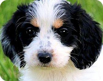 Petit Basset Griffon Vendeen/Petit Basset Griffon Vendeen Mix Puppy for adoption in Wakefield, Rhode Island - DEXTER(PETIT BASSET GRIFFON)