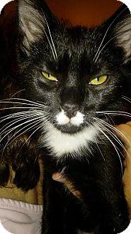 Domestic Shorthair Kitten for adoption in Columbus, Ohio - Baxter