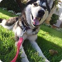 Adopt A Pet :: Bella - Los Angeles, CA