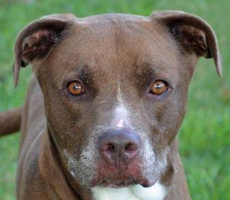 Labrador Retriever/American Pit Bull Terrier Mix Dog for adoption in Englewood, Florida - Yeti