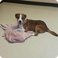 Adopt A Pet :: Izaak - Akron, OH