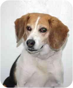 Beagle Dog for adoption in Port Washington, New York - Max