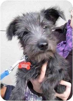 Poodle (Miniature)/Schnauzer (Miniature) Mix Puppy for adoption in Calgary, Alberta - Pepper