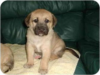 Shepherd (Unknown Type)/Collie Mix Puppy for adoption in Alberta Beach, Alberta - Violet