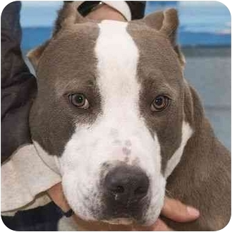 American Pit Bull Terrier Mix Dog for adoption in Berkeley, California - Beau