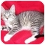 Photo 4 - Domestic Shorthair Kitten for adoption in Taylor Mill, Kentucky - Serena