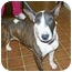 Photo 1 - Bull Terrier Dog for adoption in Grover, North Carolina - Paris
