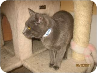 Domestic Shorthair Cat for adoption in Libby, Montana - Smoke