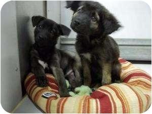 Shepherd (Unknown Type) Mix Puppy for adoption in Olathe, Kansas - Duncan