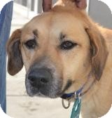Labrador Retriever/German Shepherd Dog Mix Dog for adoption in Media, Pennsylvania - Faith