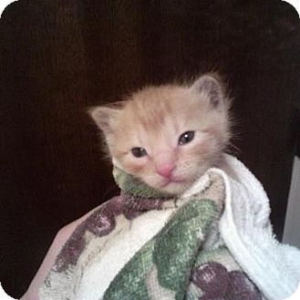 Domestic Shorthair Kitten for adoption in Pittstown, New Jersey - Squeakers