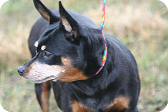 Miniature Pinscher Dog for adoption in Ponderay, Idaho - Lady