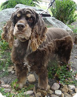 Cocker Spaniel Dog for adoption in Sugarland, Texas - Reagan