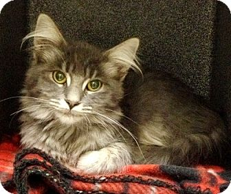 Domestic Mediumhair Kitten for adoption in Dublin, California - Finn