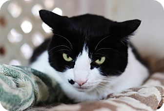 Domestic Shorthair Cat for adoption in Redondo Beach, California - Scamper