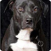 Adopt A Pet :: Nox - Polson, MT