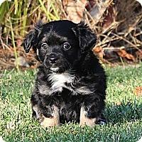Adopt A Pet :: Kristoff - La Habra Heights, CA
