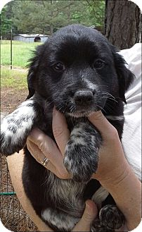 Border Collie Mix Puppy for adoption in Somers, Connecticut - Sasha