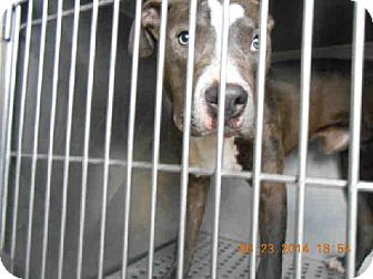 Pit Bull Terrier Dog for adoption in Indianapolis, Indiana - SERGIO