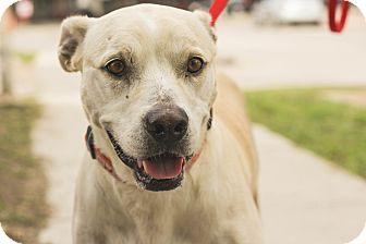 Labrador Retriever Mix Dog for adoption in Dallas, Texas - Bonnie