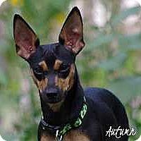 Adopt A Pet :: Autumn - Syracuse, NY