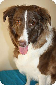 Border Collie Dog for adoption in San Pedro, California - DAKOTA (Courtesy List)