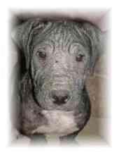 Shar Pei Mix Dog for adoption in Sacramento, California - Ella - URGENT!