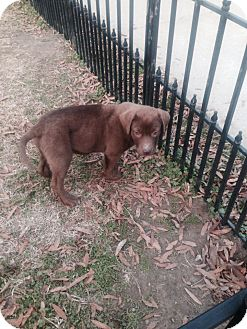 Chesapeake Bay Retriever Mix Puppy for adoption in East Hartford, Connecticut - Handy ADOPTION PENDING