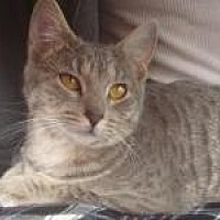 Domestic Shorthair Kitten for adoption in Old Bridge, New Jersey - Colleen the Beautiful Survivor