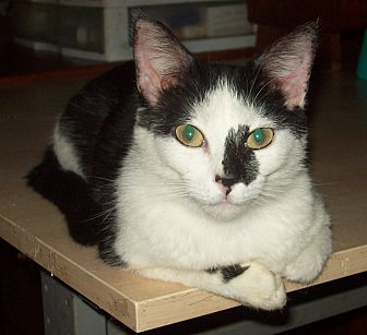Domestic Mediumhair Cat for adoption in San Diego/Imperial Beach, California - MooGee