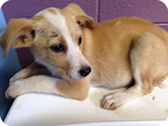 Border Collie/Labrador Retriever Mix Puppy for adoption in Lima, Pennsylvania - Sheeba