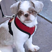 Adopt A Pet :: GIZMO - Fort Worth, TX