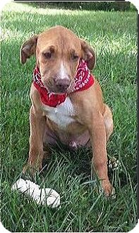 Boxer/Labrador Retriever Mix Puppy for adoption in Normandy, Tennessee - Stuart