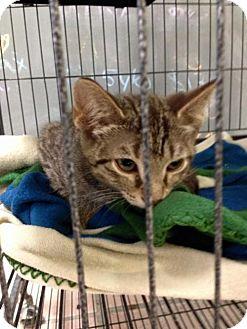 Domestic Mediumhair Kitten for adoption in Newburgh, Indiana - Cocoa