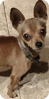 Chihuahua Mix Dog for adoption in San Diego, California - Abner