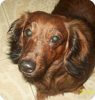 Dachshund Dog for adoption in Buffalo, New York - Margo
